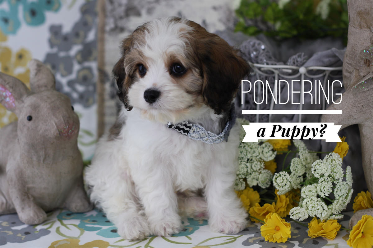 Cavachon puppies for sale by Foxglove Farm | Cavachon | Cavapoo