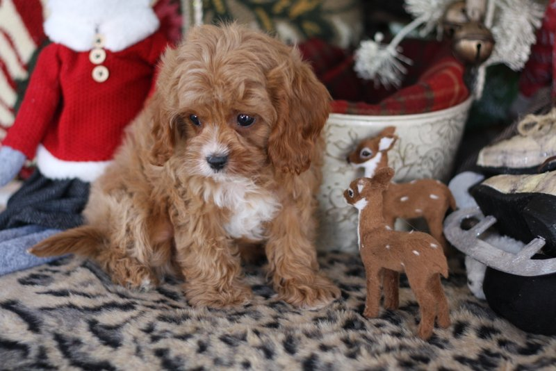 Cavapoo Girl Puppy By Foxglove Farm