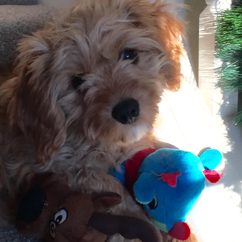 Cavapoo puppy from Foxglove Farm