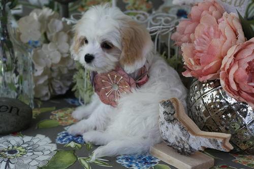 Cavachon Puppies For Sale — Foxglove Farm