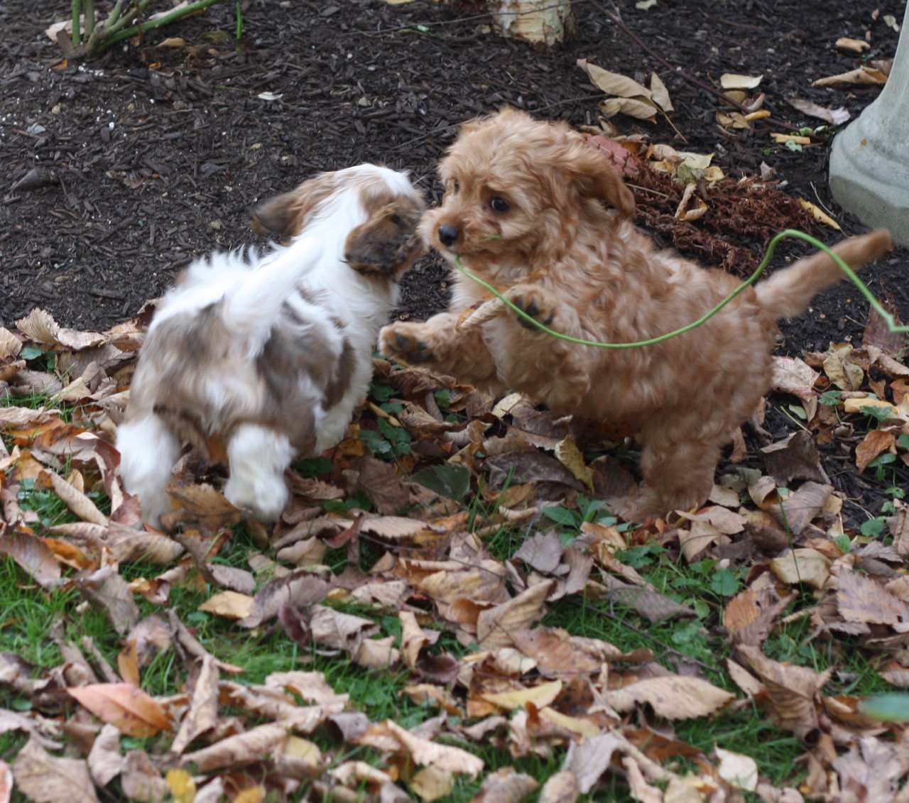 Puppies love to help with cleaning up all those pesky fall leaves!!!  (Or NOT! lol!)