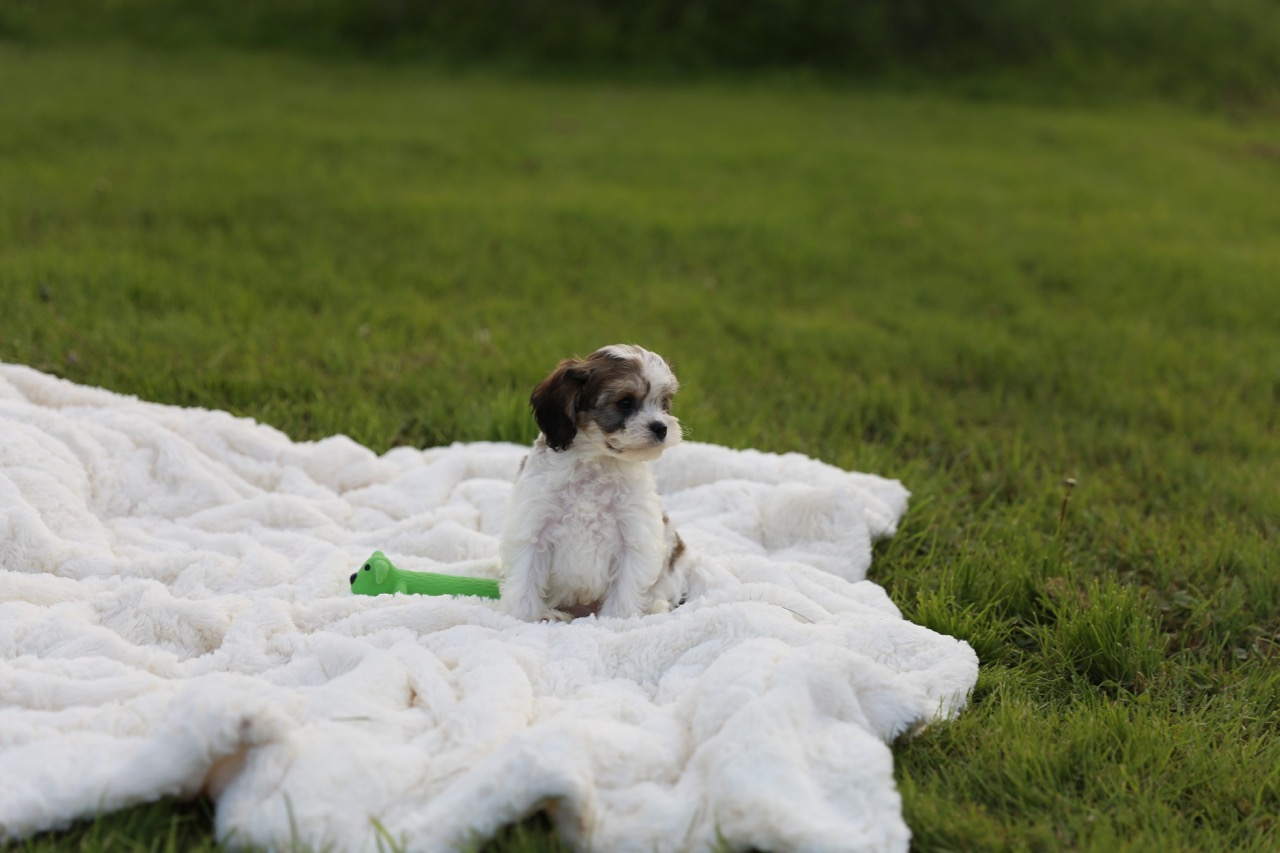 Cavachon Puppy sable and white