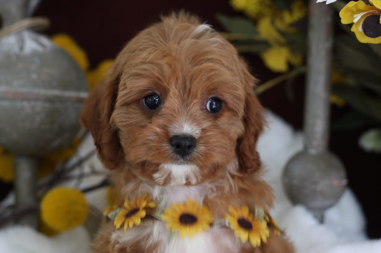 Foxglove Cavapoo Puppy