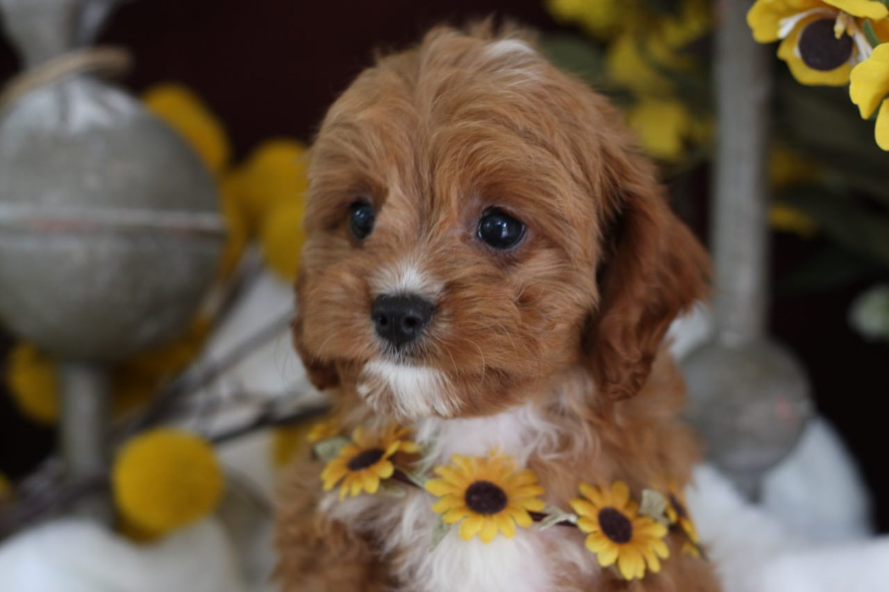 Foxglove Farm Cavapoo Puppy for sale