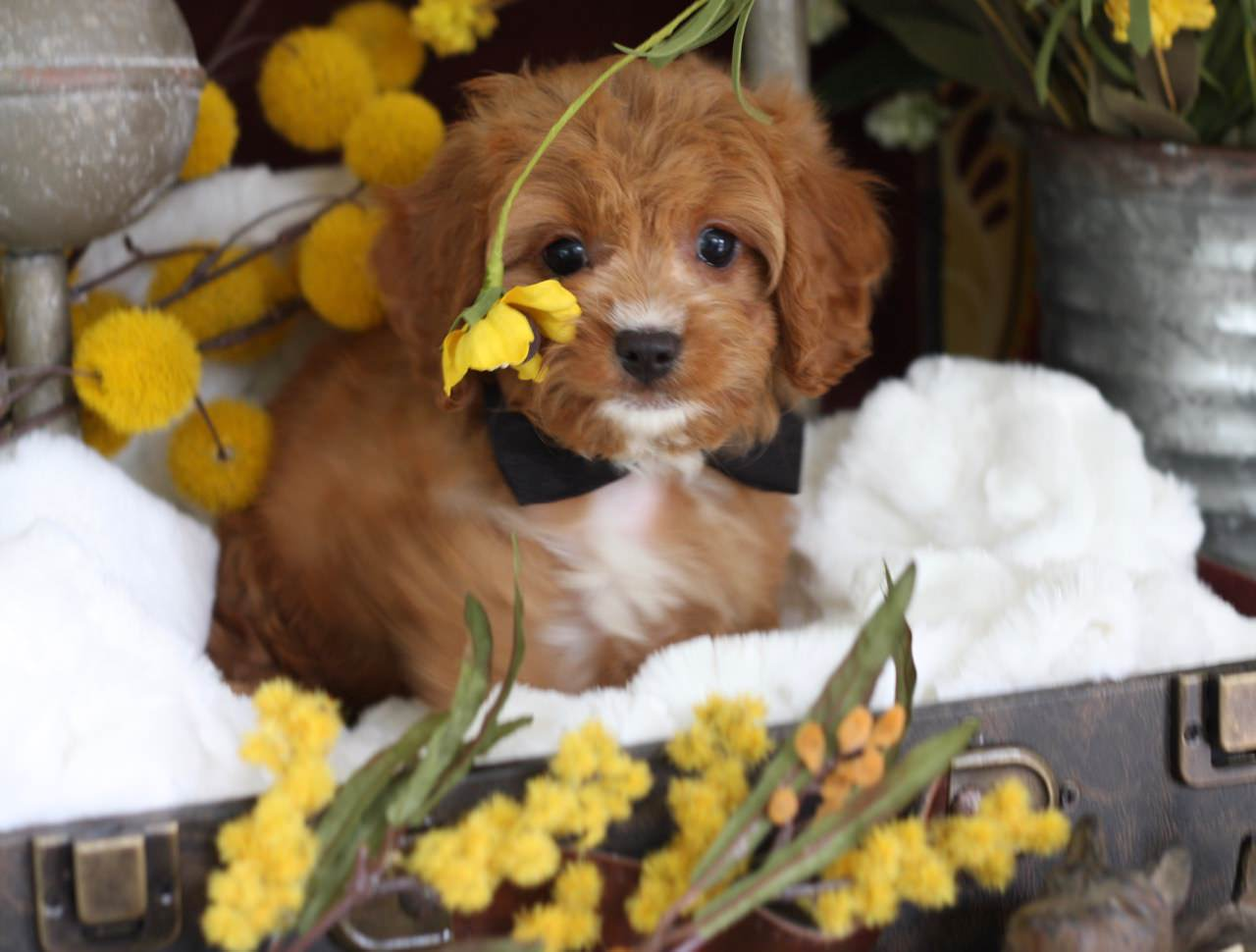 Cavapoo boy puppy from Foxglove Farm