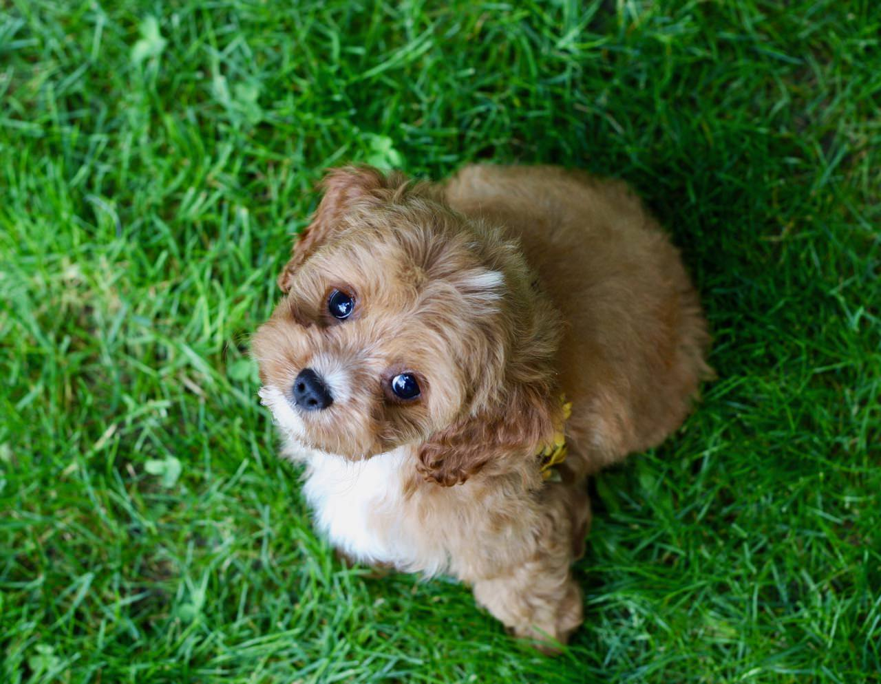 Cavapoo puppy playing outdoors