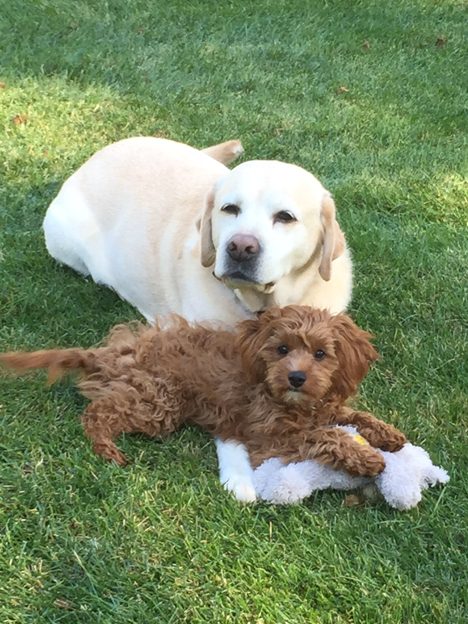 Cavapoo+Puppy+Holly+from+Foxglove+Farm.jpeg
