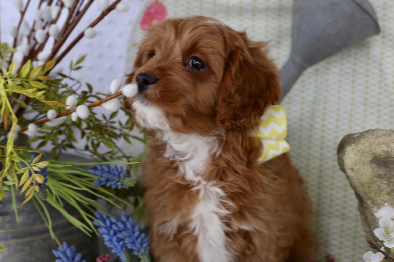 Cavapoo puppy Chip Carter Gaines