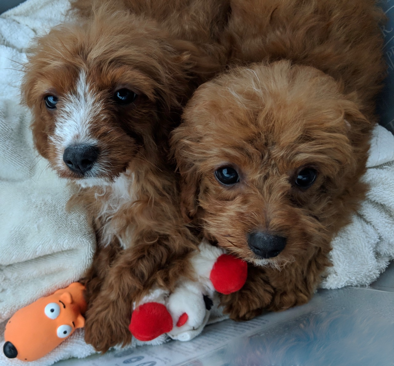 Little Cavapoo puppy sisters.