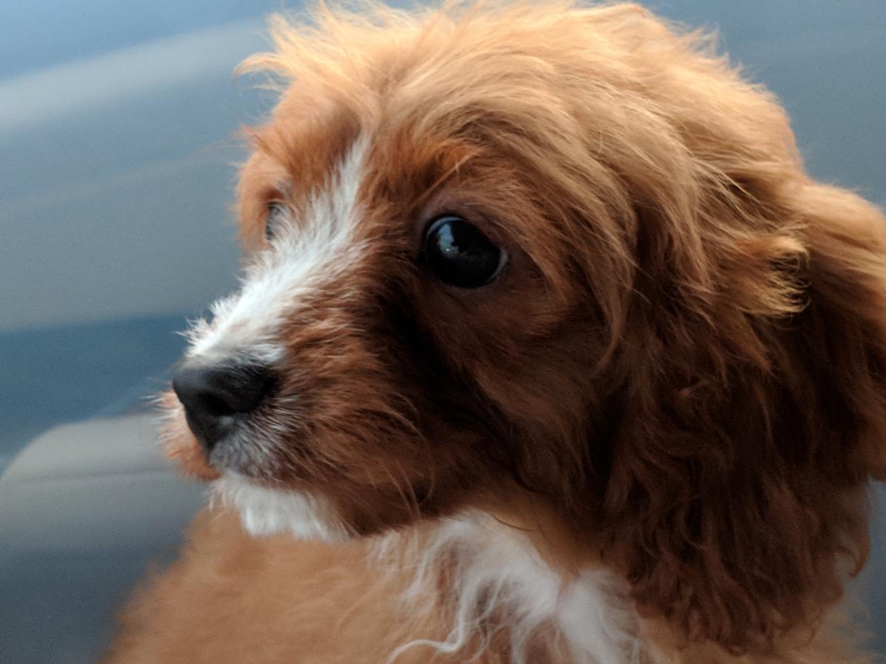 Cavapoo puppy Chiquita
