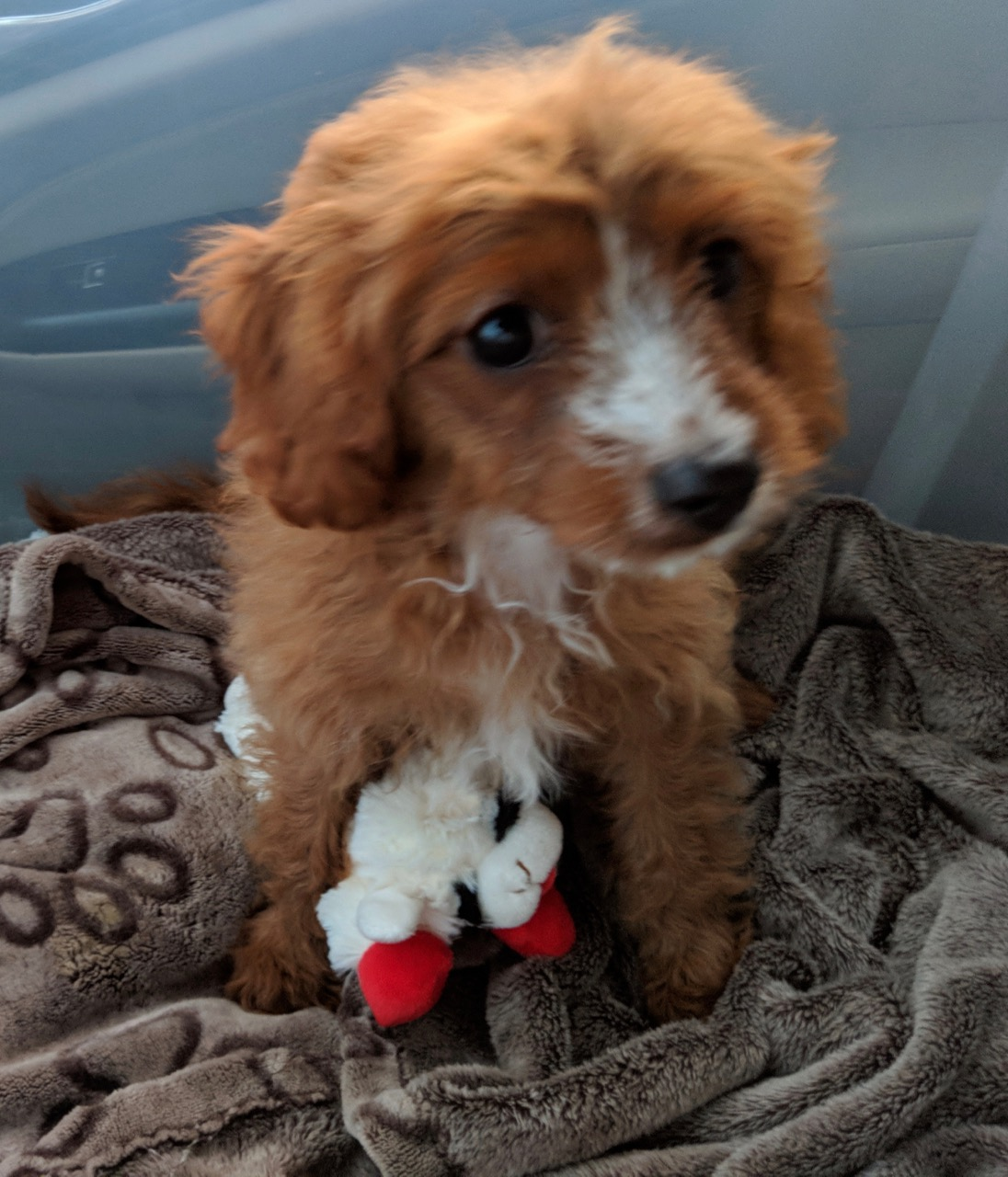 Cavapoo puppy with toy Lambchop