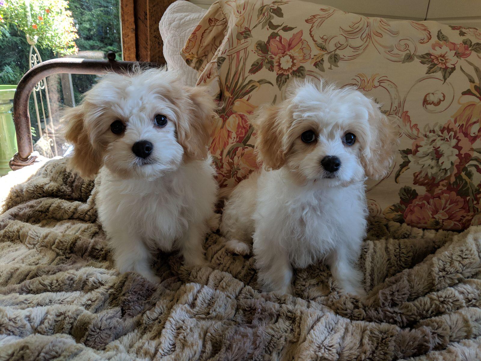 Cavachon Puppies Bullwinkle and Bella
