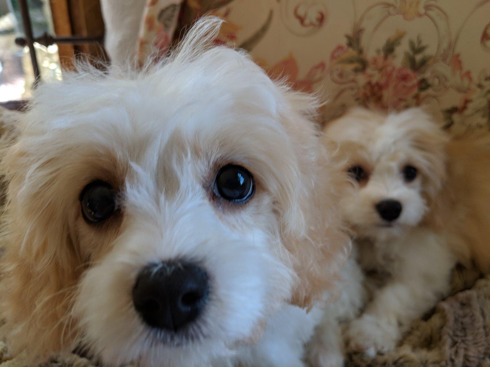Bella a Cavachon puppy