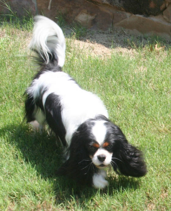 Beautiful Cavalier King Charles Spaniel in Tri-Color