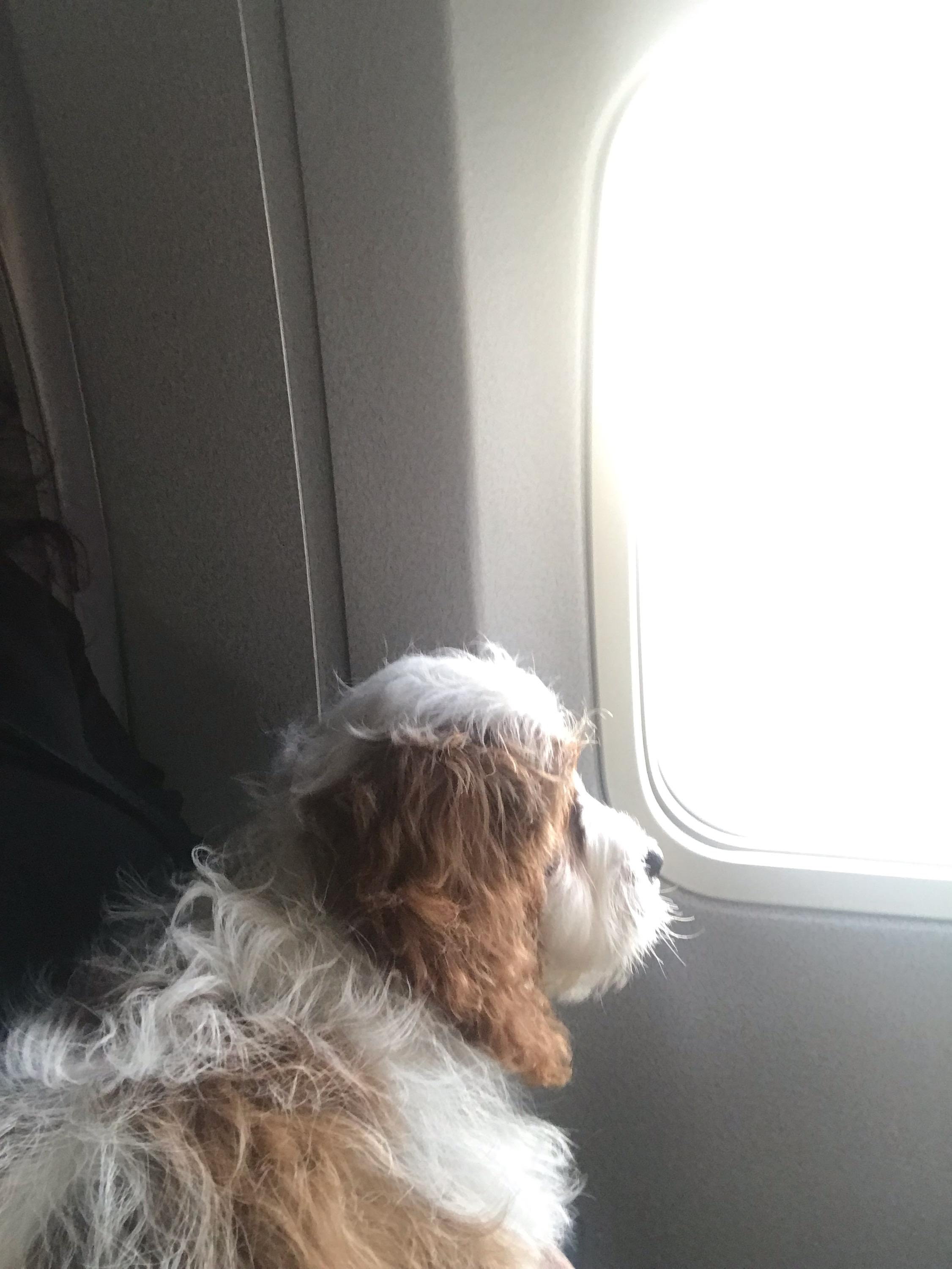 Puppy traveling in airplane cabin with flight nanny