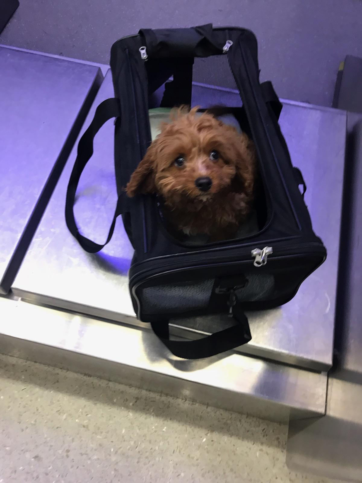 Puppy in carrier ready to fly on airplane