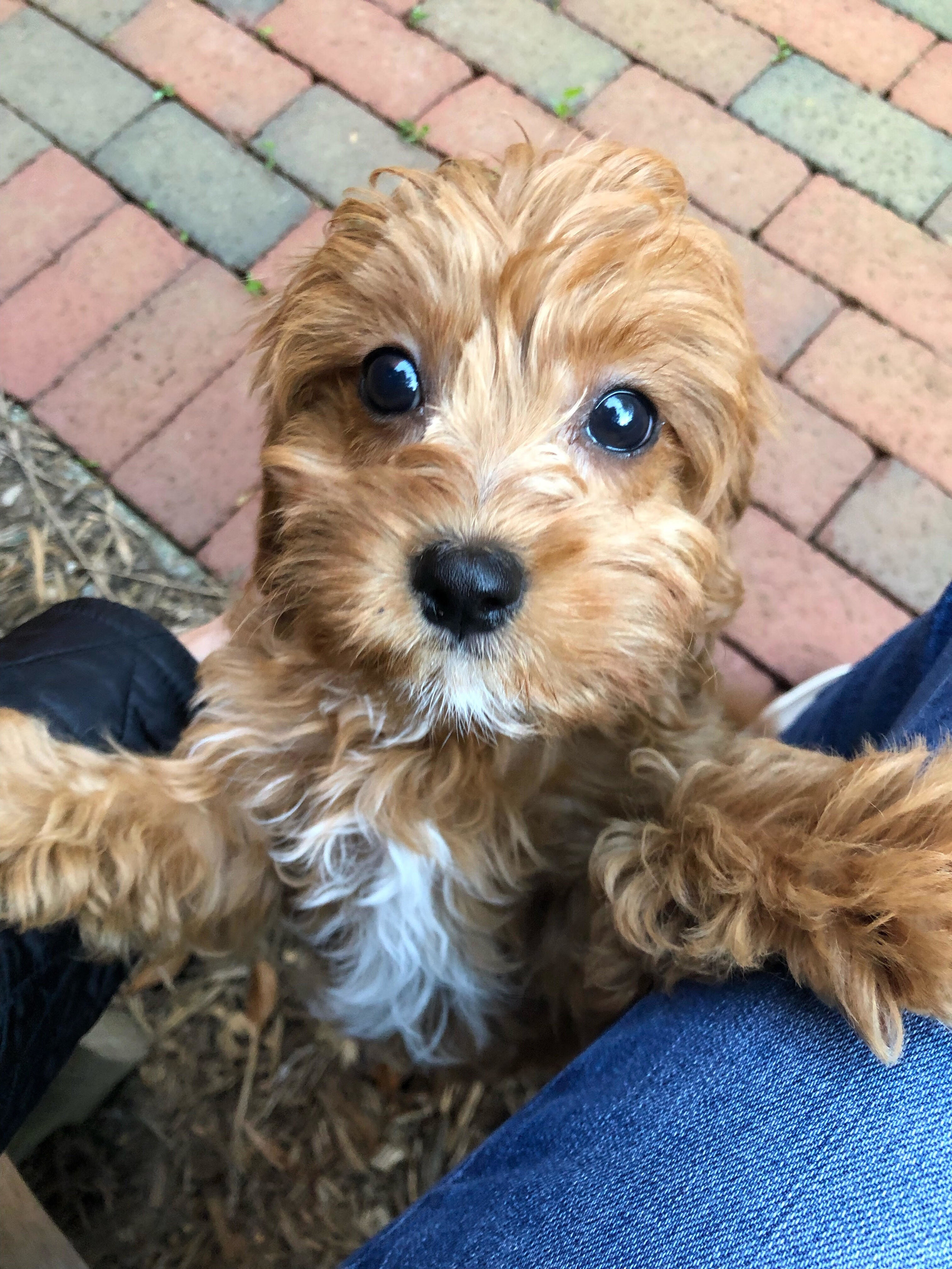 Cavachon and Cavapoo Breeder Reviews — Foxglove Farm