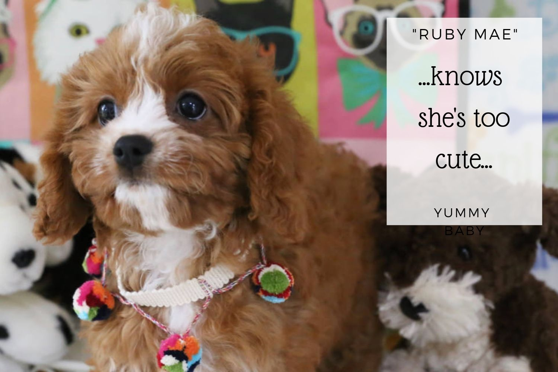Top 12 Cavachon Puppies For Sale Minneapolis - Gorgeous Tiny