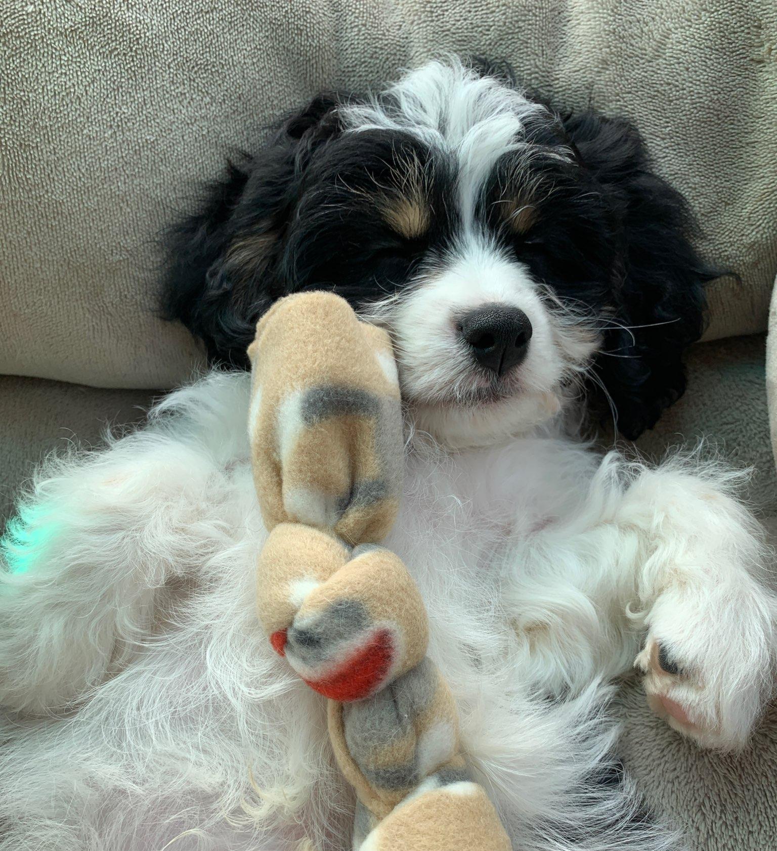Adorable+Cavachon+Puppy.jpg