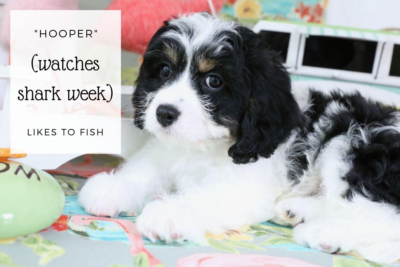 Cavachon puppy Hooper.jpg