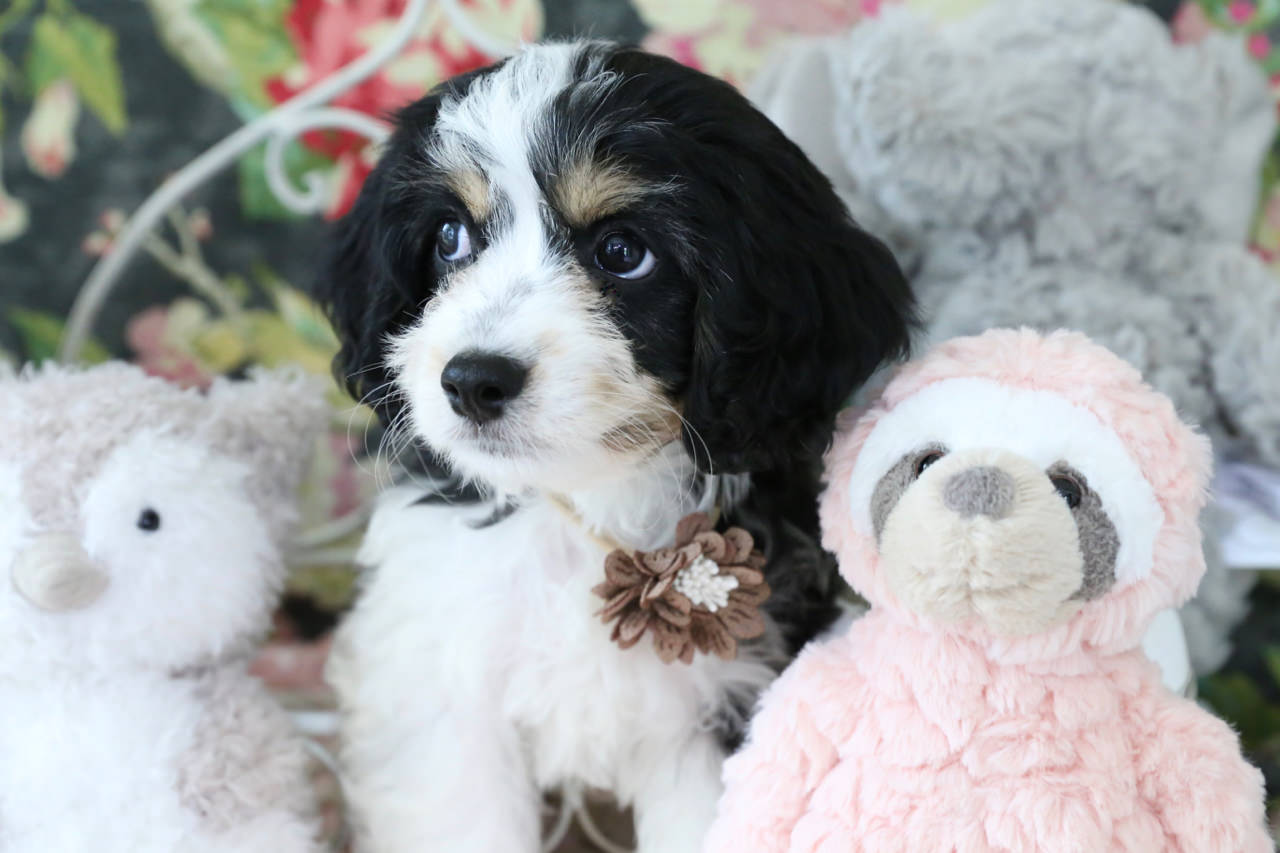 It's the eyebrows, our Cavachon puppy Silas Mariner has an unfair advantage, cuteness overload warning!