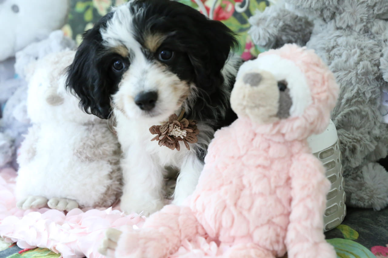 Totally darling Cavachon puppy with his sloth friend.