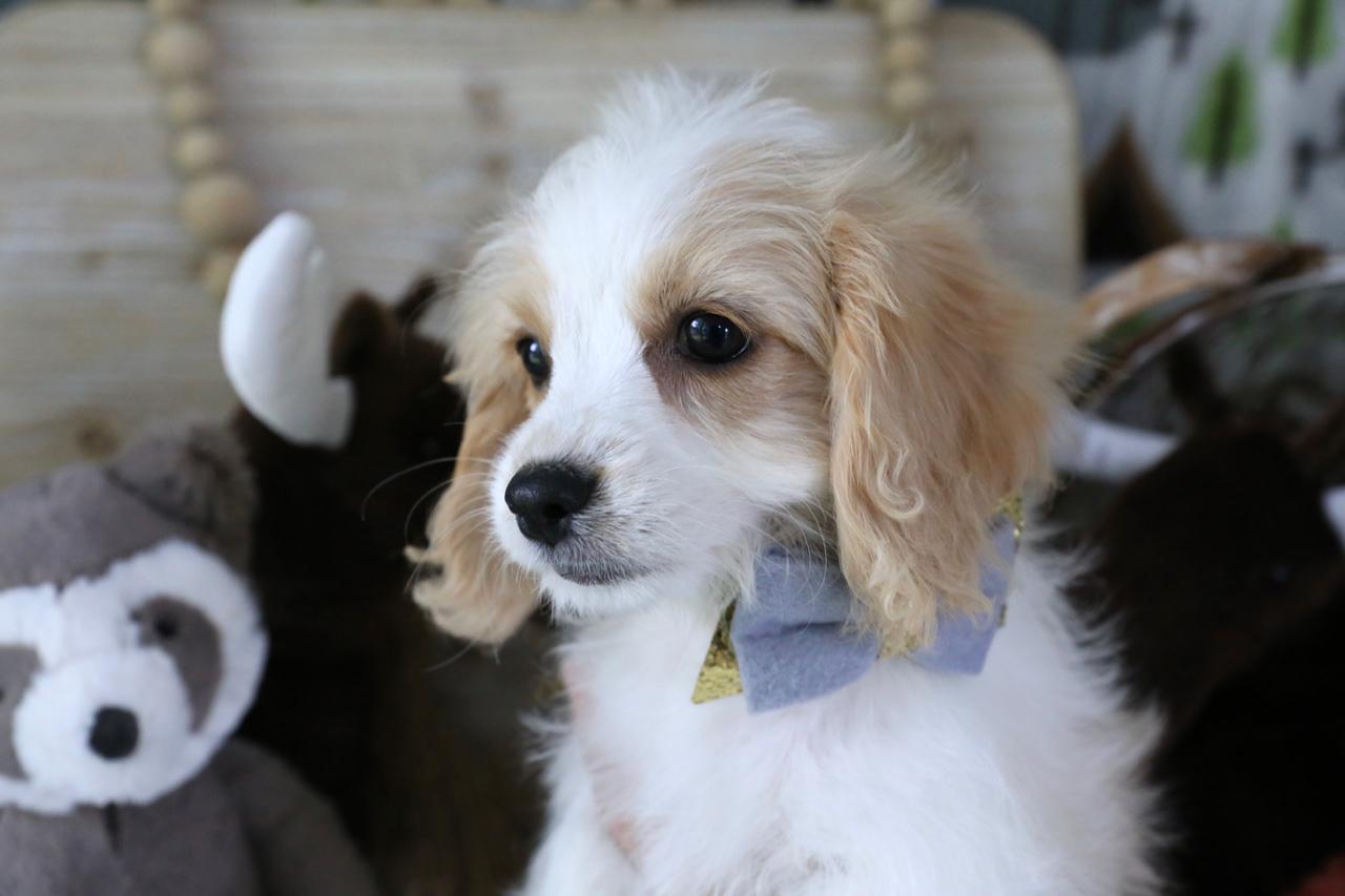 Cavachon puppy Chickadee.jpg