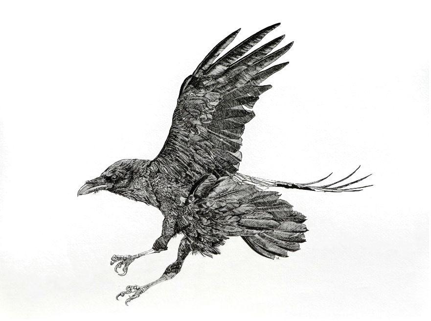 Raven II    18 x 24    ink on paper