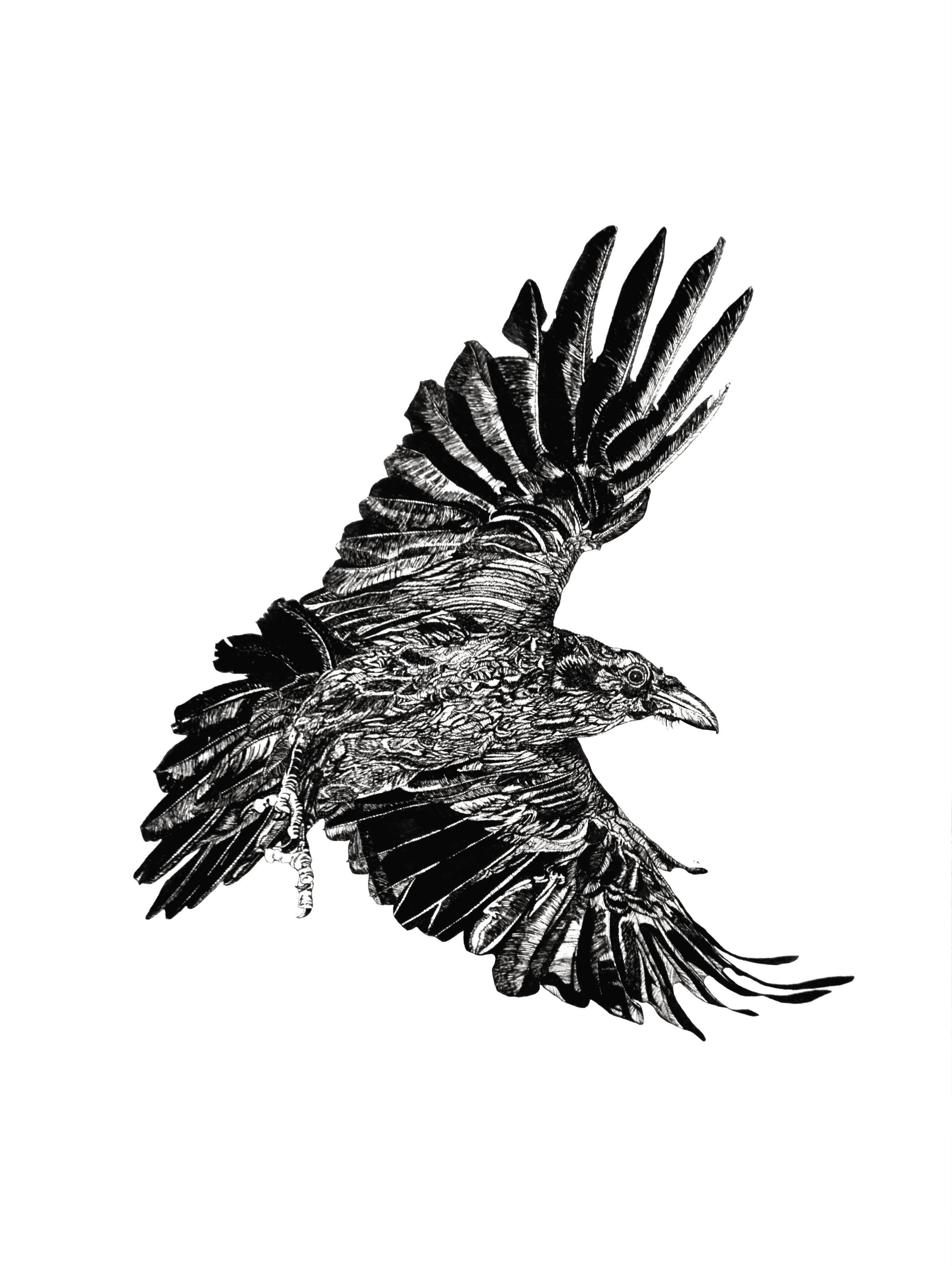 Raven III    24 x 18    ink on paper