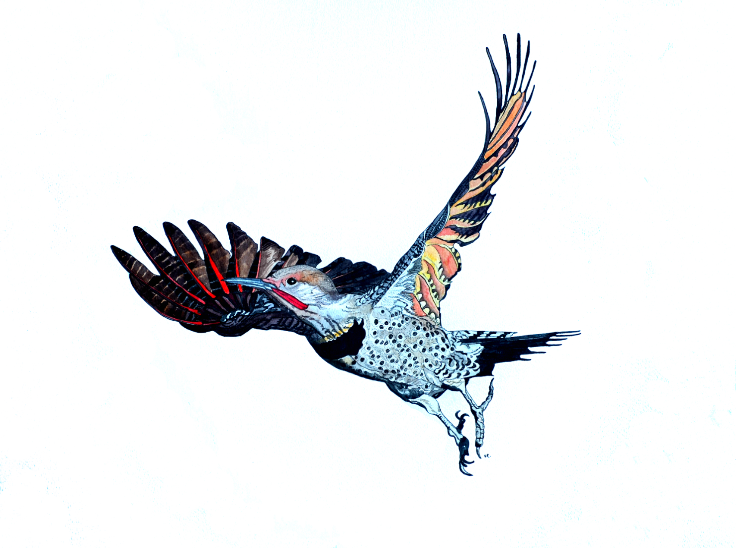 Red-shafted Flicker    18 x 24    ink & watercolour on paper