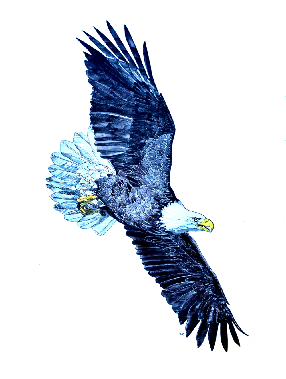 Commission - Bald Eagle    24 x 18    ink & watercolour on paper