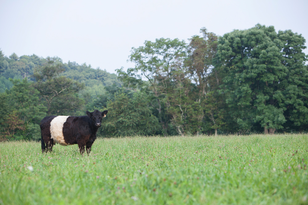 RappahannockBelties_July2015_051.jpg