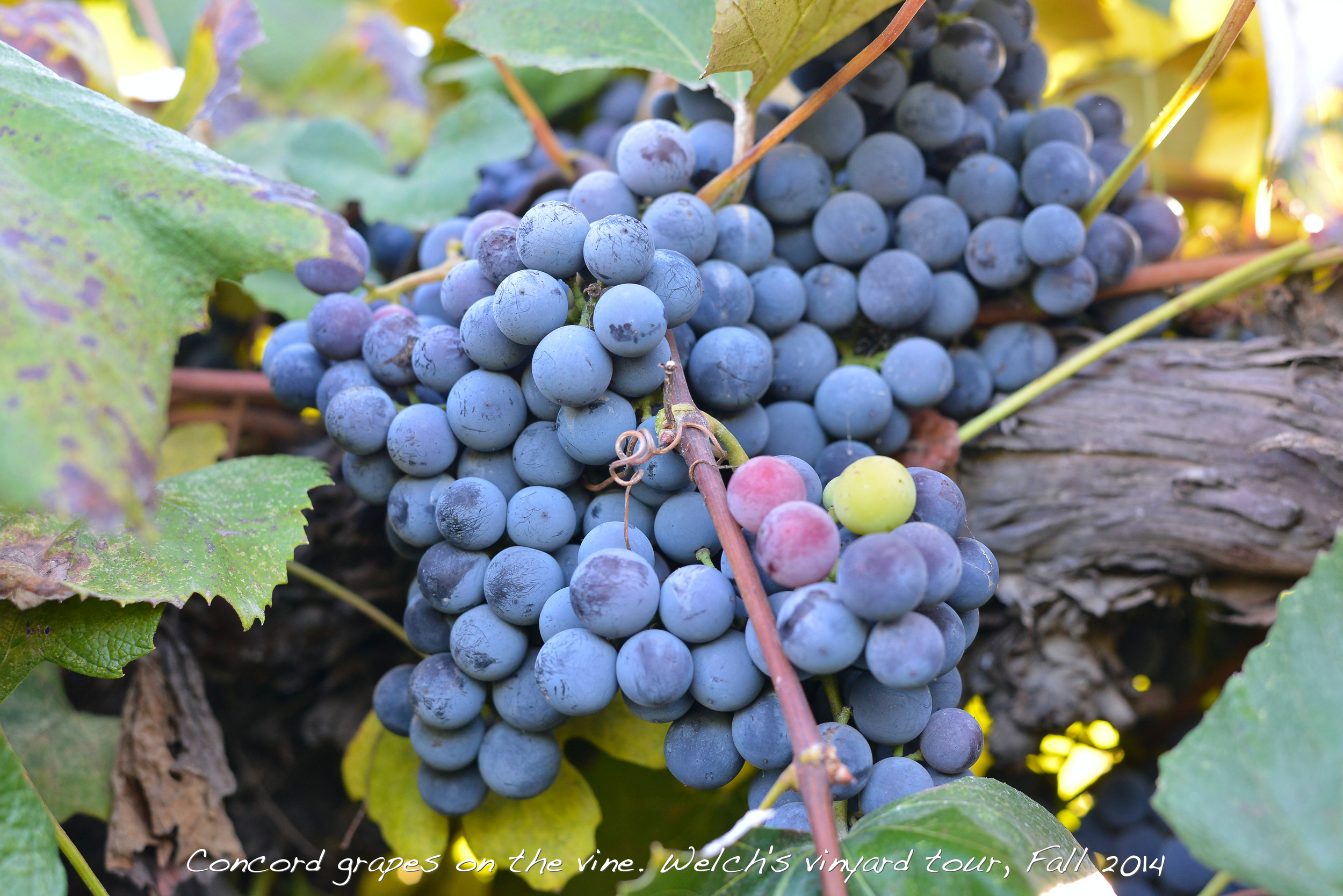 Concord grapes on the vine.