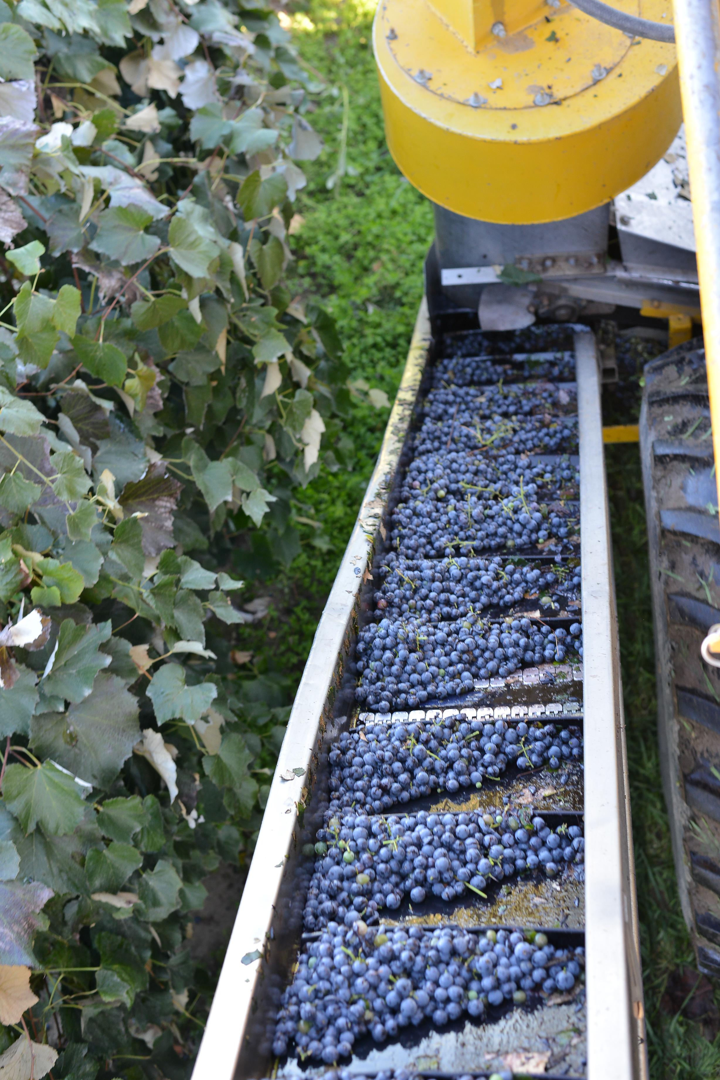 BrightpurpleConcord grapes right off the vine.