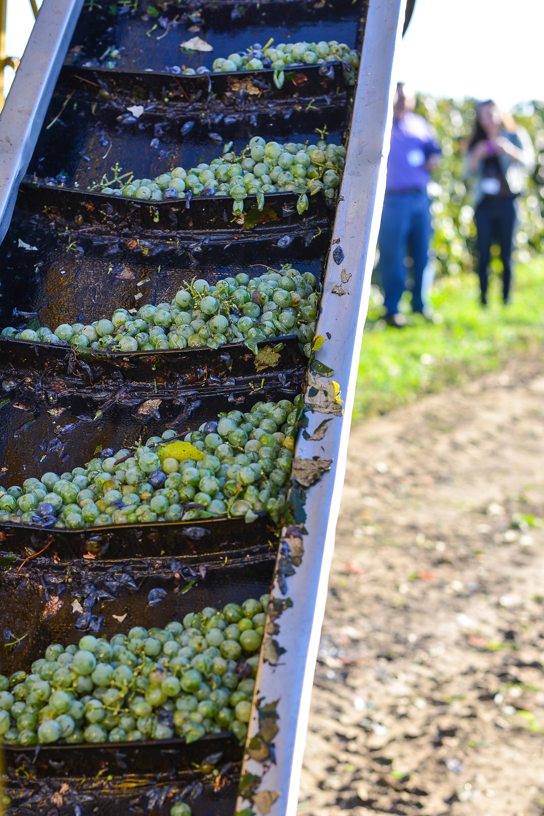 Niagra grapes going up the belt on the harvester.