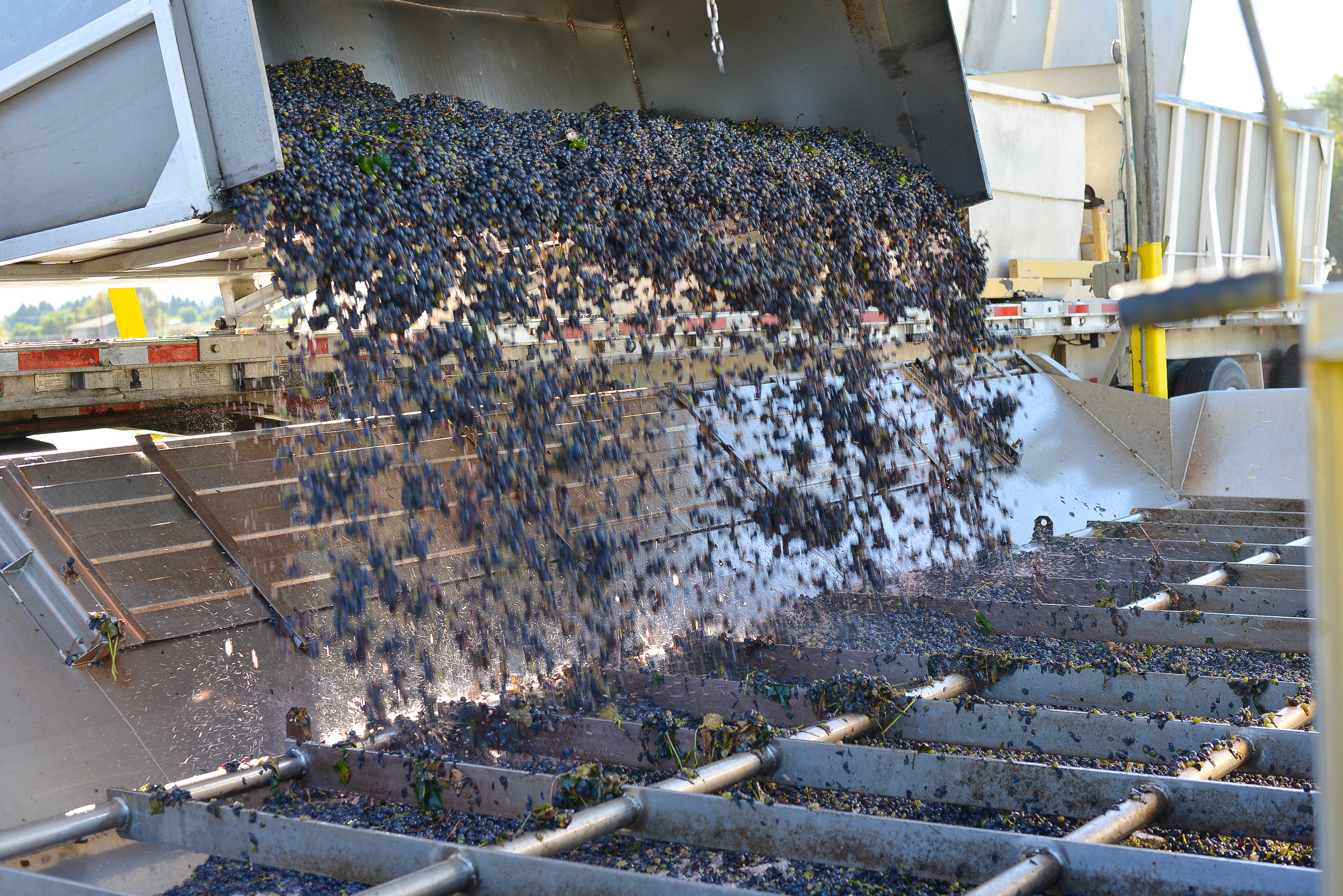 Eight hours prior, these Concord grapes were on the vine! Here they are arriving at the factory.