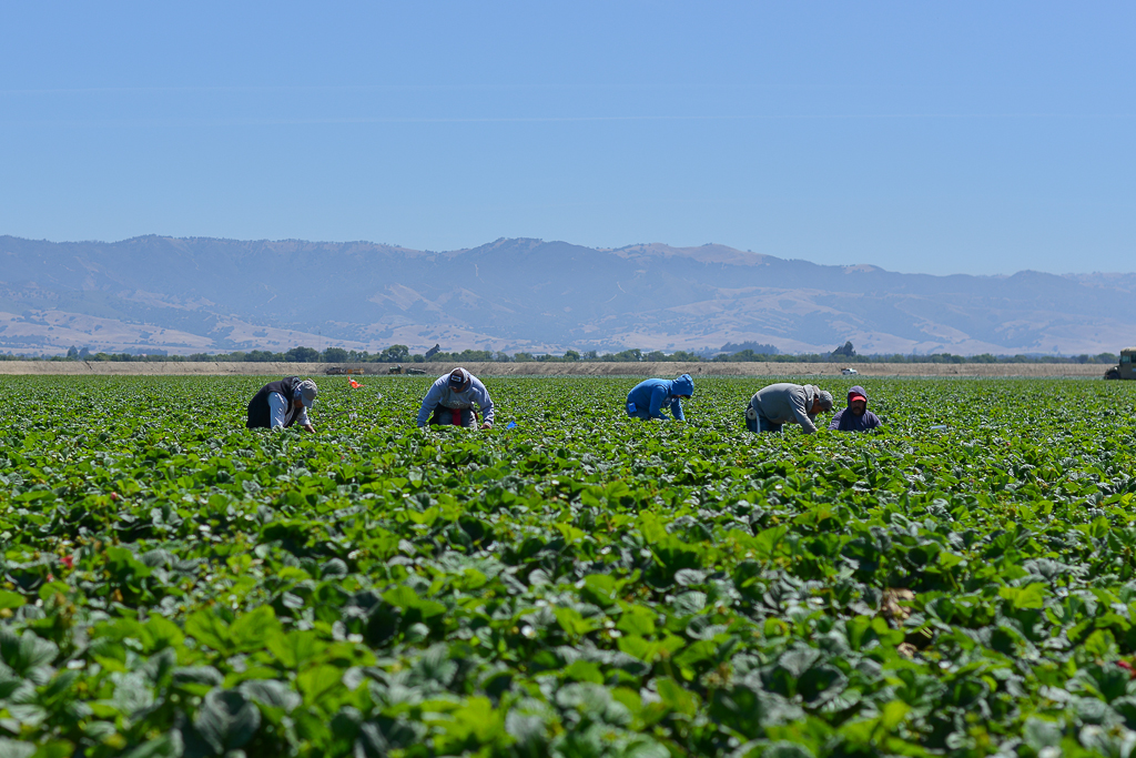 Field workers pick every single strawberry by hand.