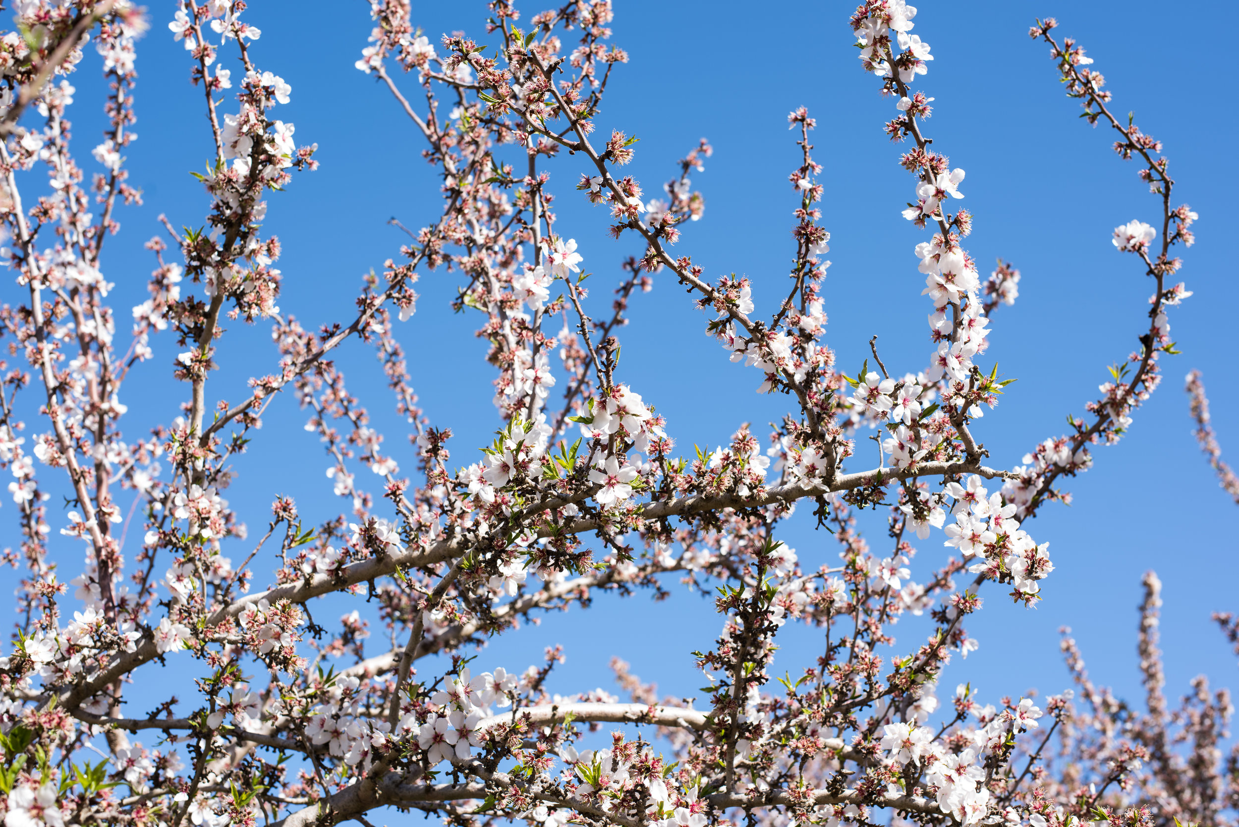 Almonds that grew from these blooms were used to make Almond Breeze products.