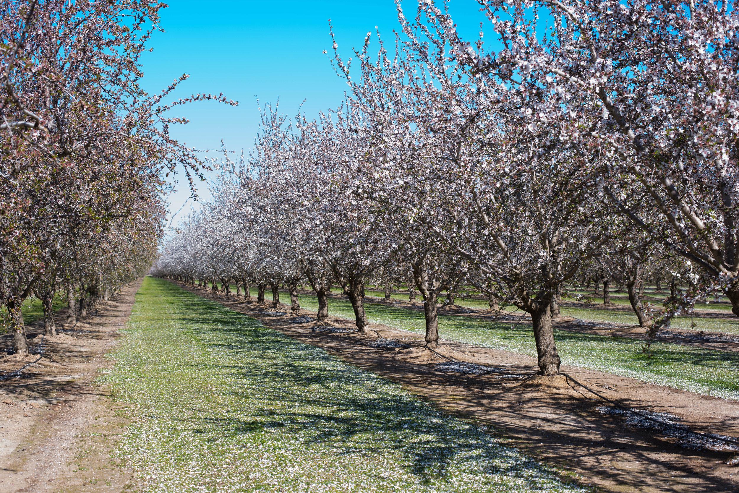 Almond Breeze almond grove