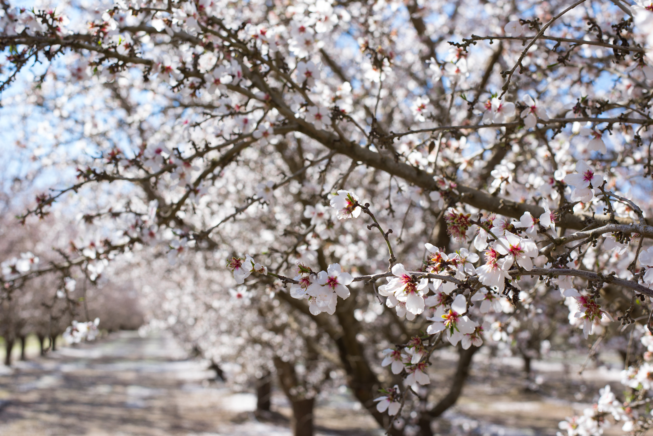 Almond Breeze grove