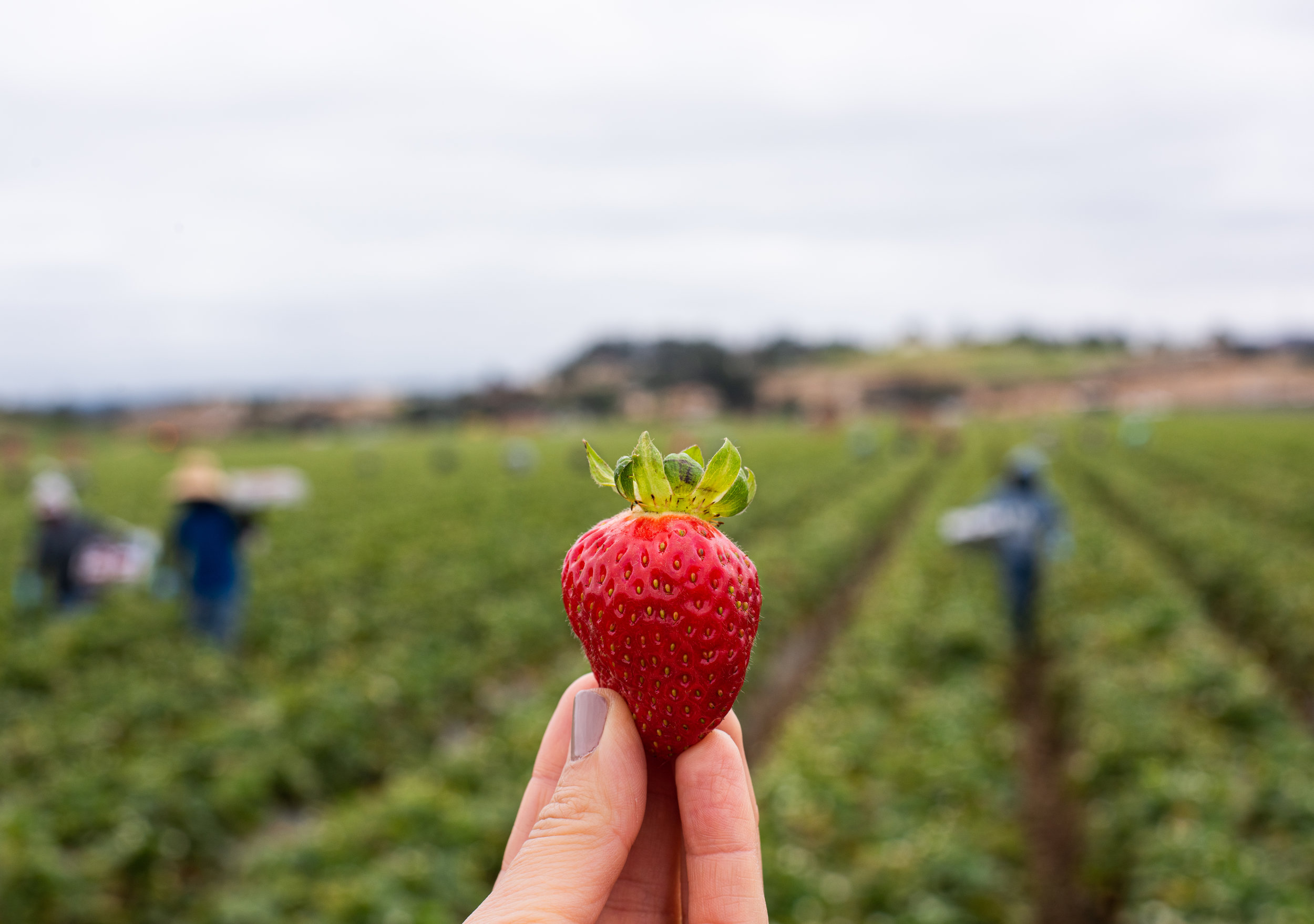 Fresh California Strawberry from the field near Monterey, CA.