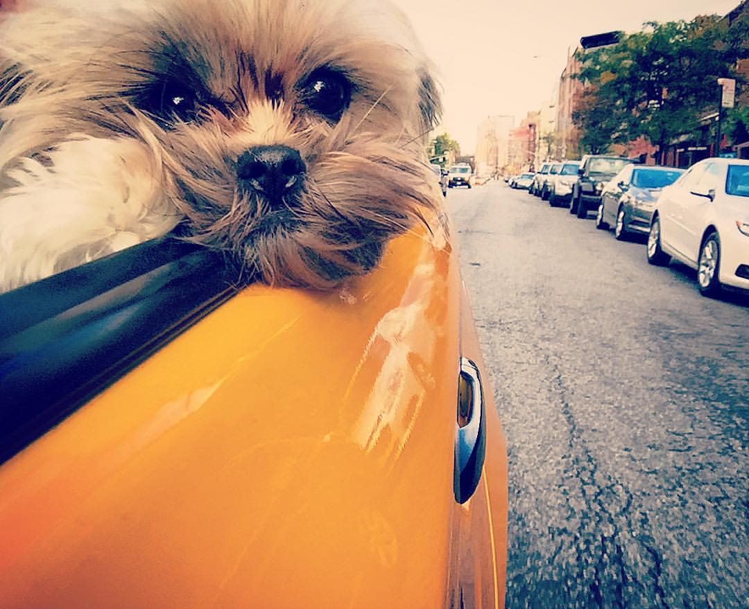 Cab'in it downtown in the brisk fall air 🌆🚕🍂🌿🍁🚕🚕  ||  #nyc #taxi #manhattan #downtown #tribeca #fidi #soho #hudsonsquare #westvillage #cab #puppies #fall #openhouseny  ||  @lilbibiboo  (at West Village)