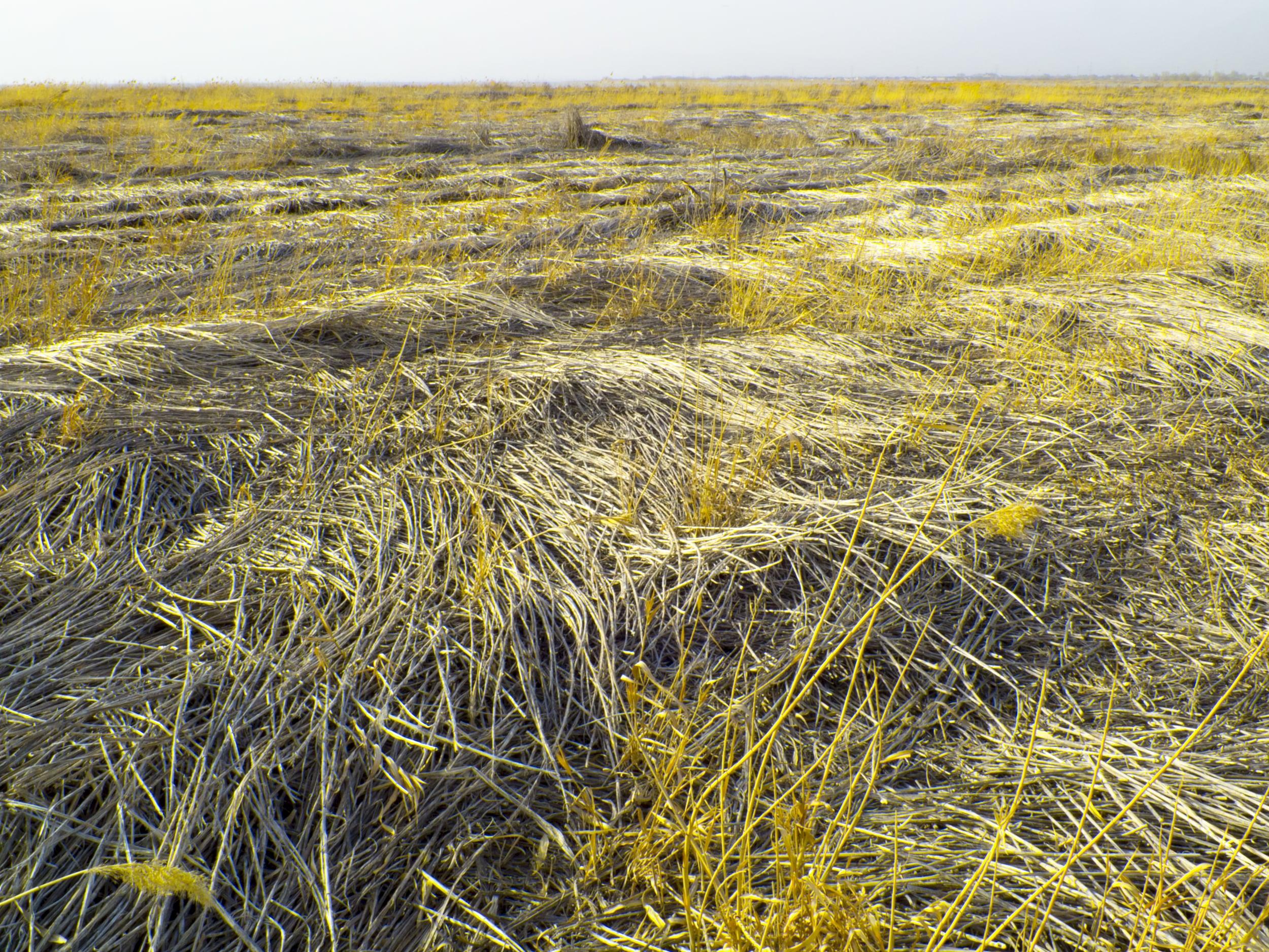 yellow weeds.jpg