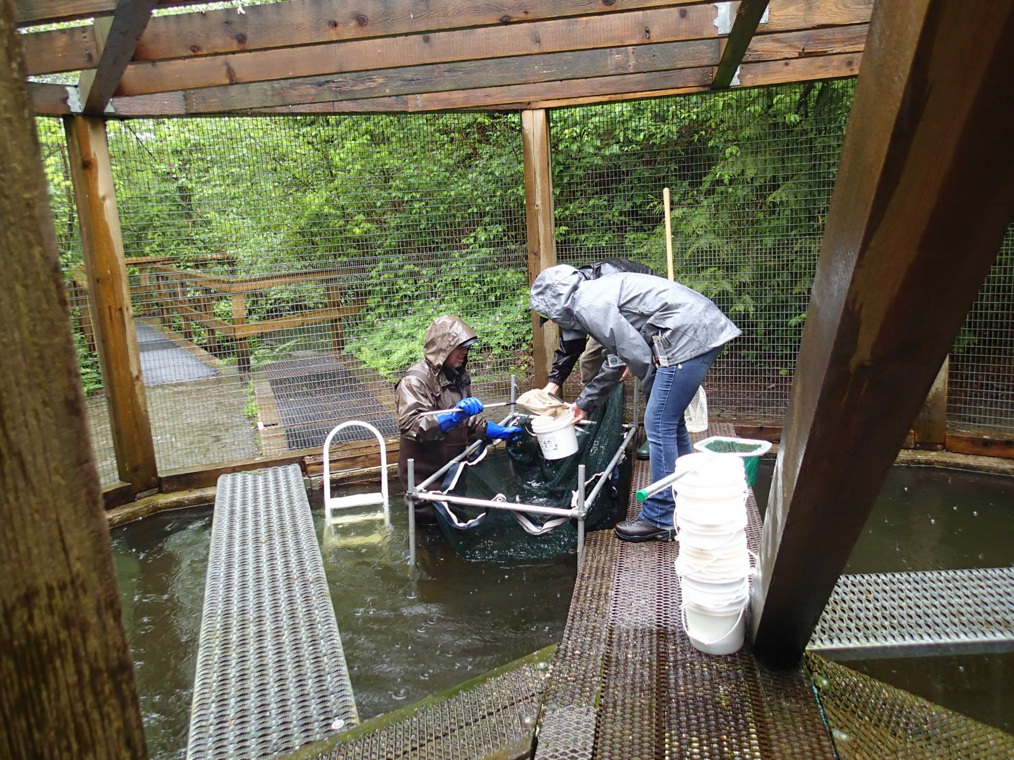 Society volunteers working in the Hoy Creek rearing pond