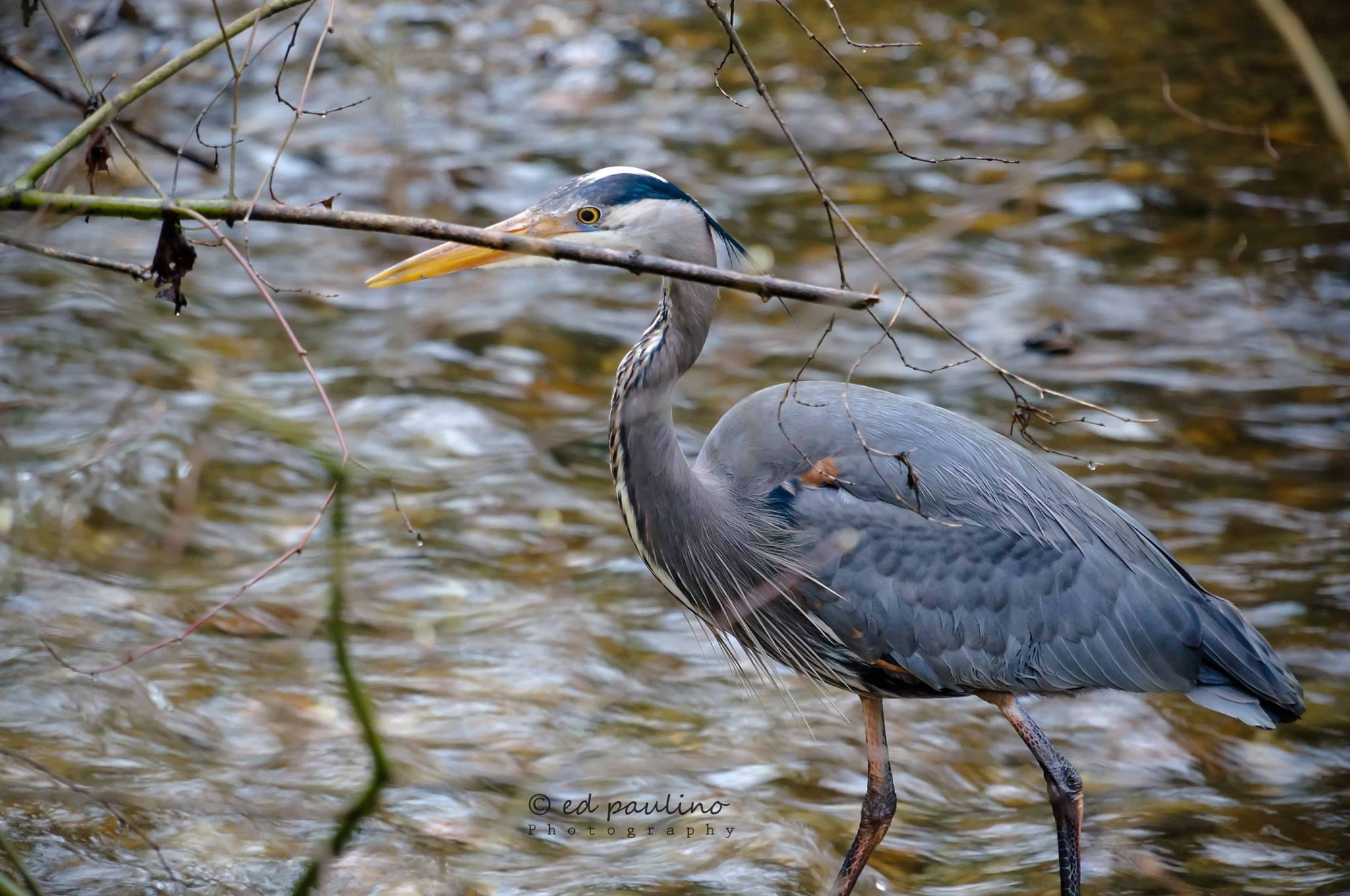 A blue heron at Hoy Creek, Coquitlam. (Photo: Ed Paulino / HSWS)