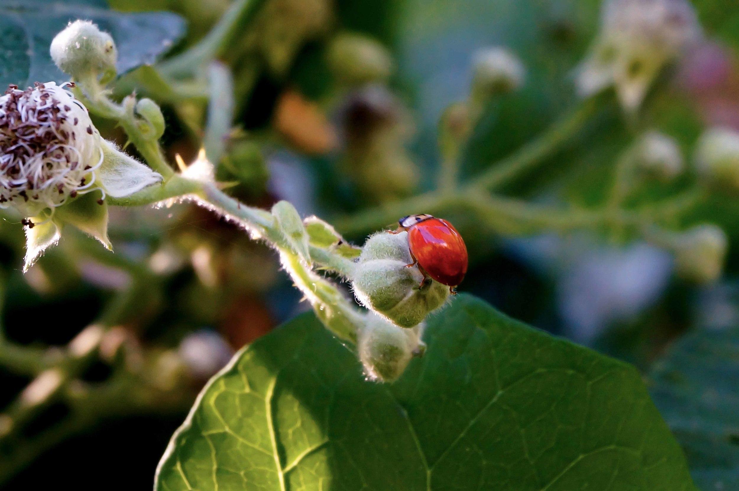 A ladybug by Hoy Creek. (Photo: Ed Paulino)