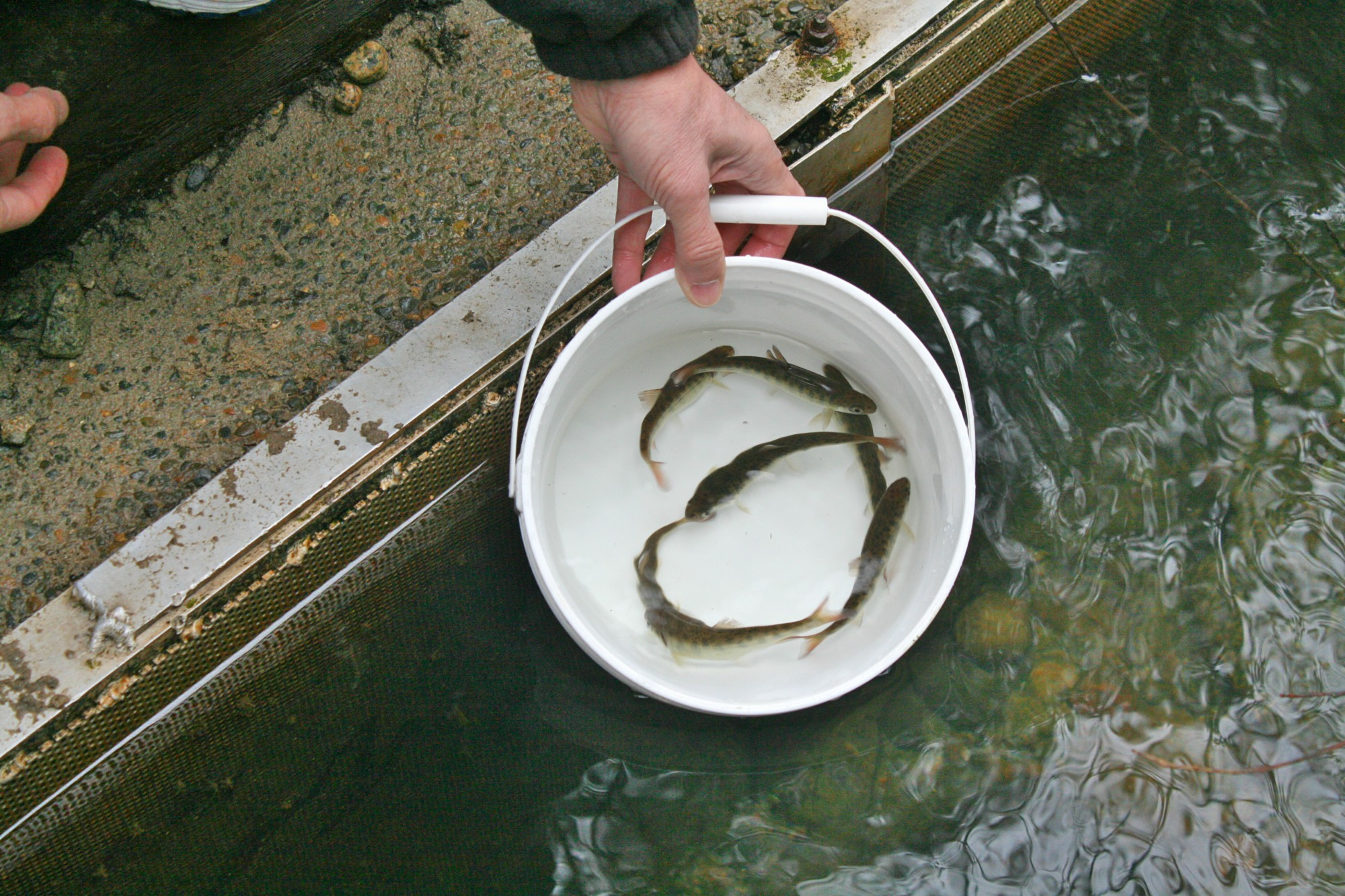Join the Hoy-Scott Watershed Society on Sunday, May 1stfrom 11am to 2pm at Hoy Creek Hatchery in Coquiatlam as thousands of coho smolts will be released into Hoy Creek to make their way down to the Pacific Ocean.    (HSWS Photo)