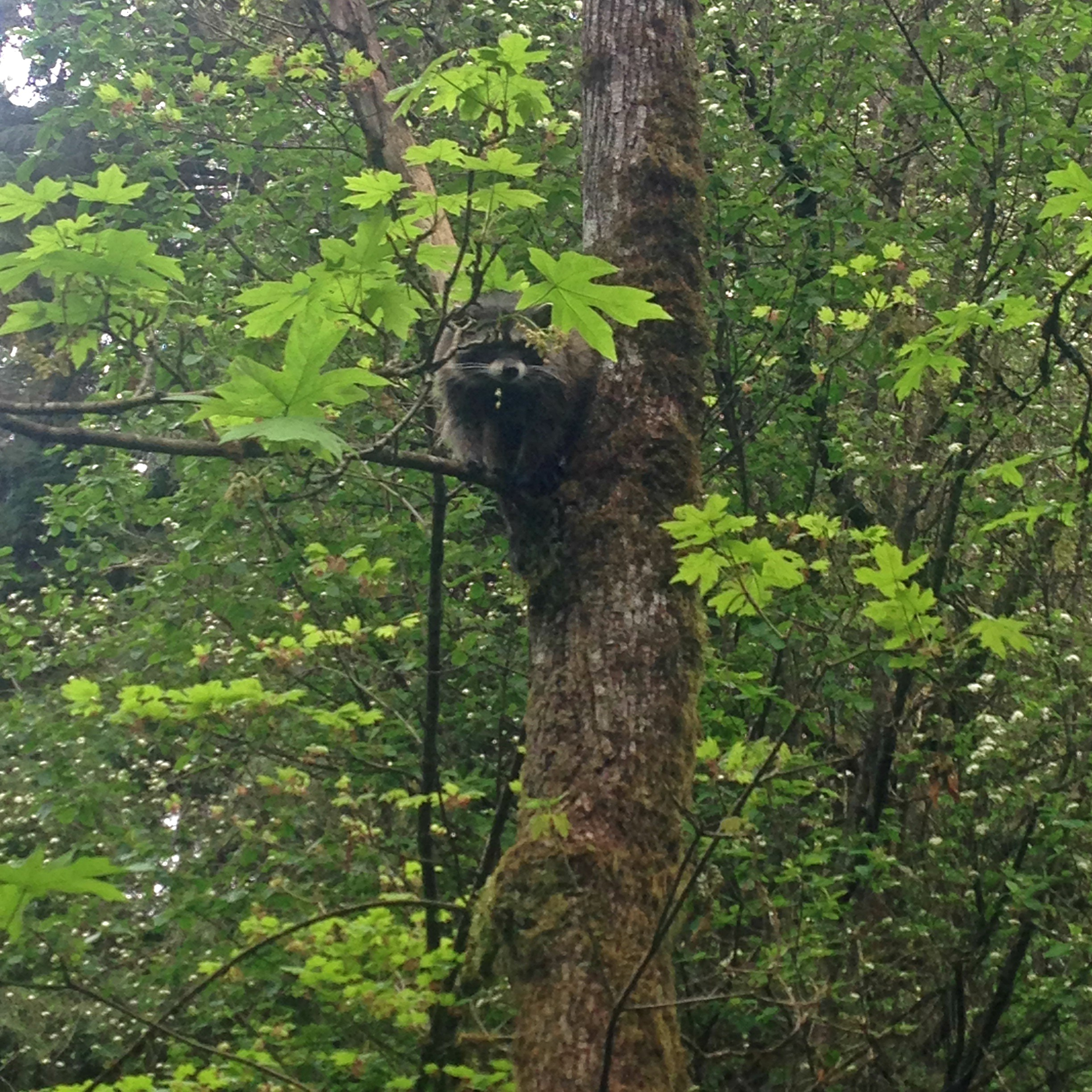 Our neighborly racoon by Hoy Creek Hatchery, April 2016 (Photo Rodney Lee / HSWS)