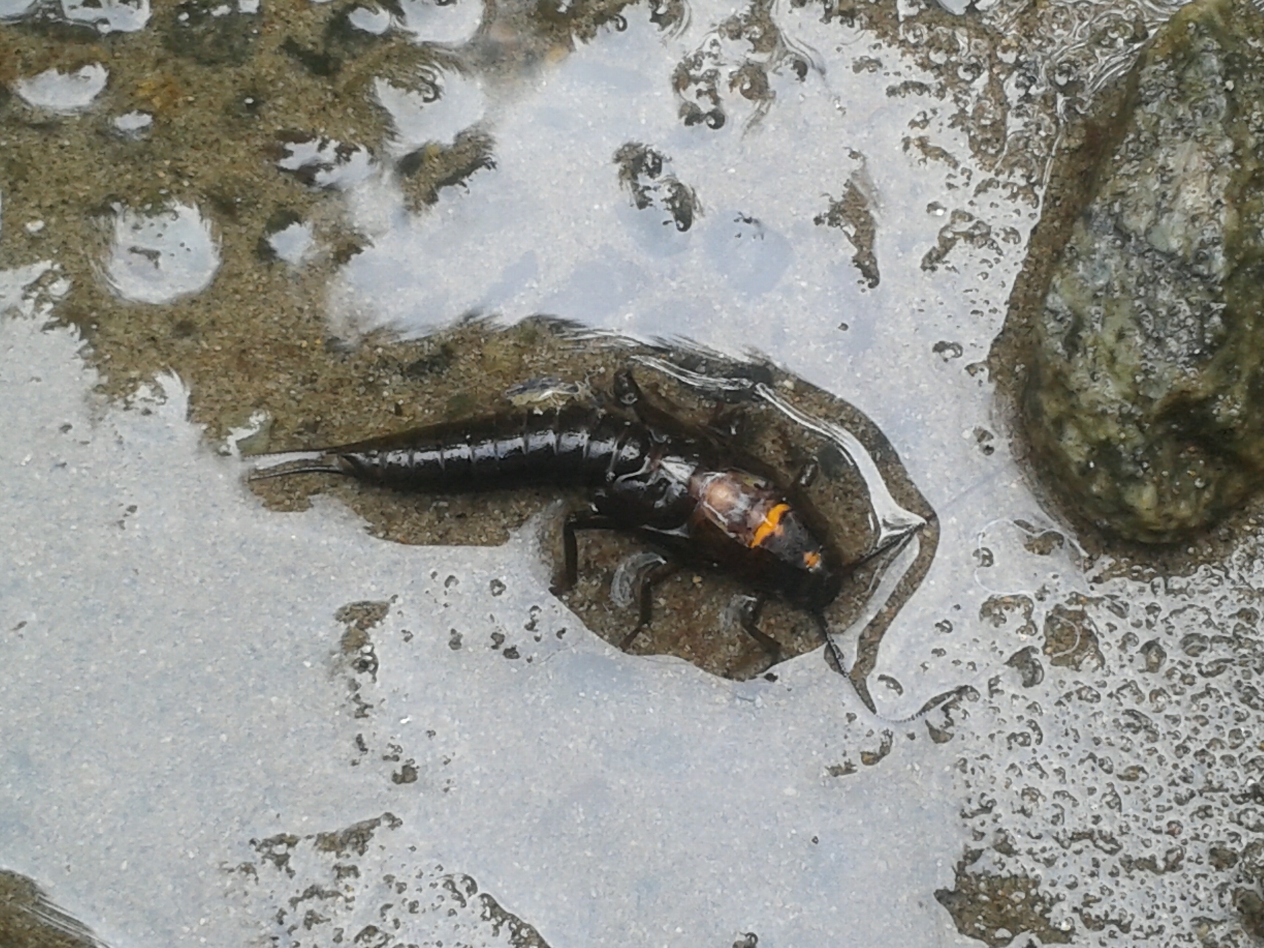 This little creature was spotted by Hoy Creek in March 2016. We think it's a cockroach stonefly nymph. It looks like it's emerging. They crawl out of the water and emerge as an adult. We believe the orange part shows where the exoskeleton was splitting on it's back to shed so it can emerge. It was approx. 4cm in length. (Photo: Rodney Lee / HSWS)