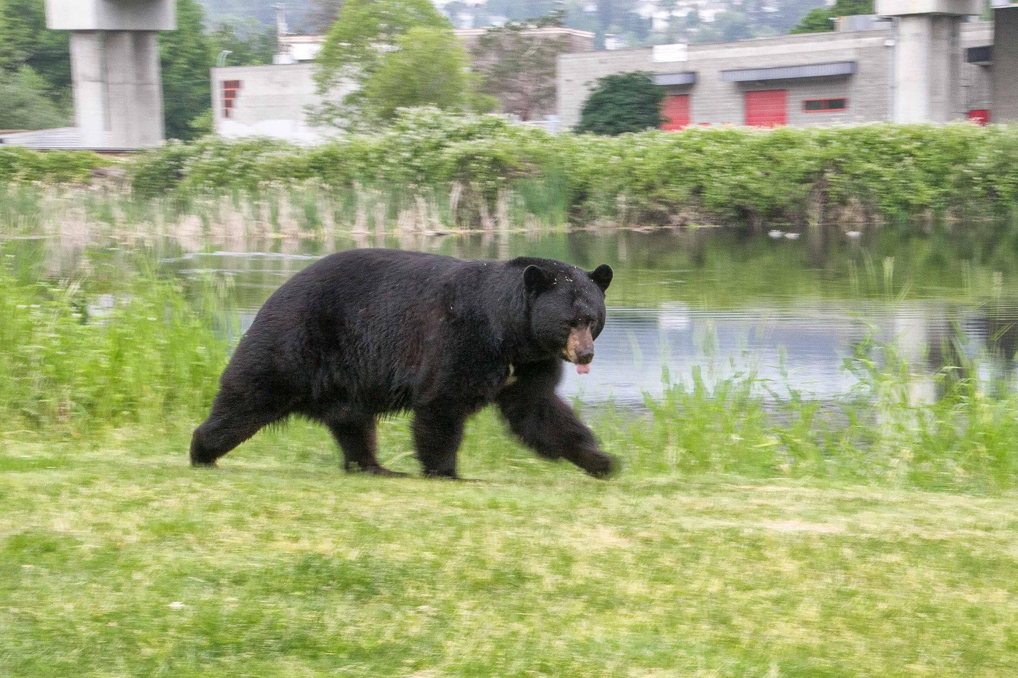 This healthy looking black bear was spotted by our team beside Pinnacle Pond, Coquitlam (Photo: Ed Paulino / HSWS)